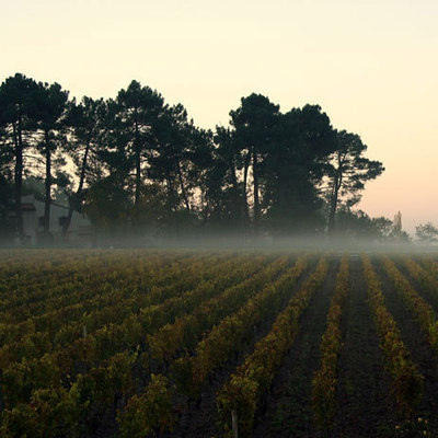 Early morning on grapes field